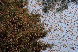 monarchs-sky-370_11892_1